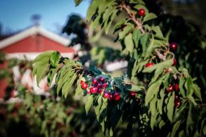cherry-trees-at-rolling-thunder-cherry-ranch